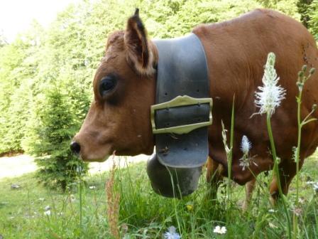 Vache de Fernand