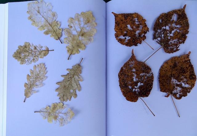 feuilles dentelle