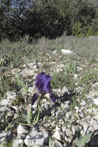 iris nain Ventoux